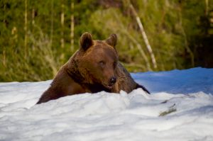Big brown bear in Tusnad sitting down