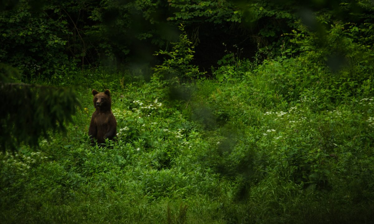 Brown bear standing up in a forest near Brasov