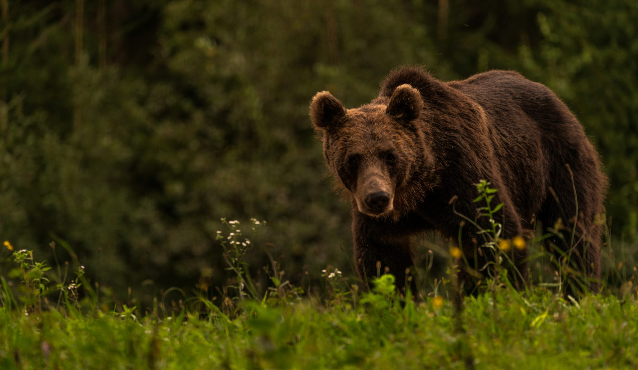 bear watching in Tusnad