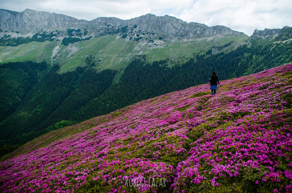 Rhododendrons in Bucegi mountains