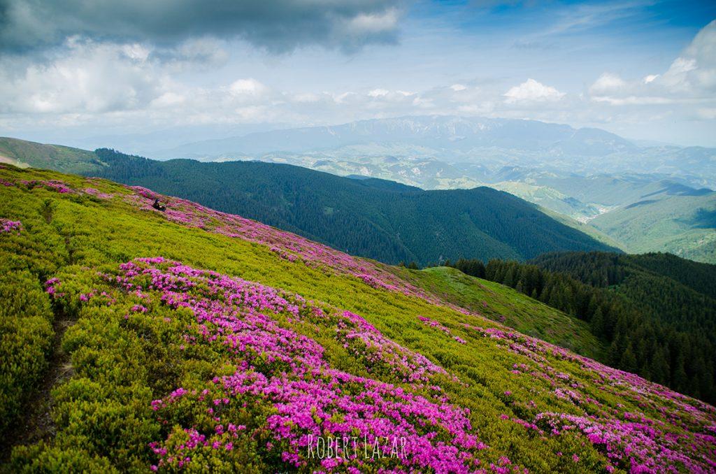 Bucsa rhododendroni 4