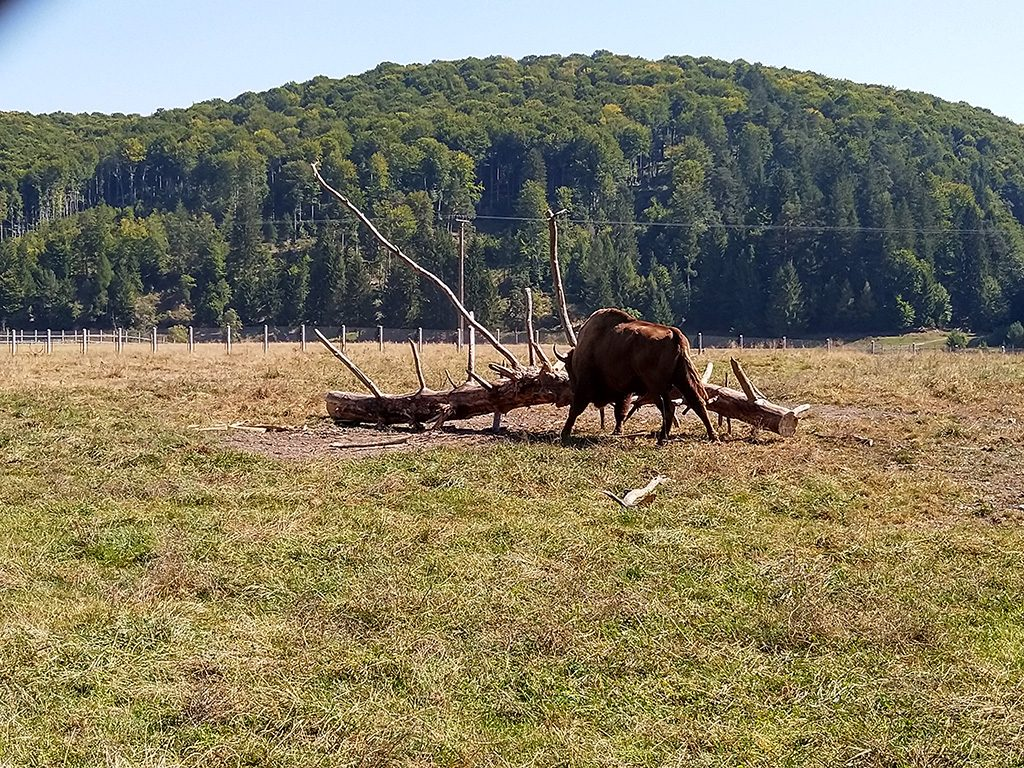 Where to see the bison in Romania - Bison reserve in Vama Buzaului