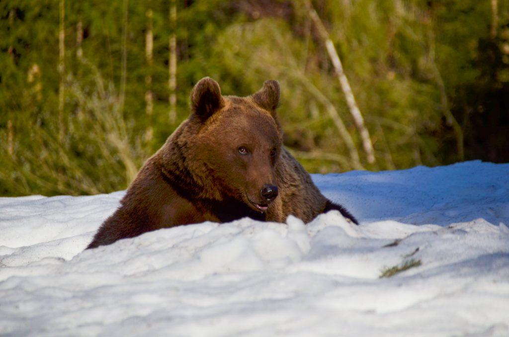 Wiinter bear watching in Brasov - Brown bear in snow