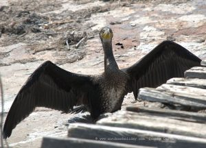 The great cormorant - Phalacrocorax carbo