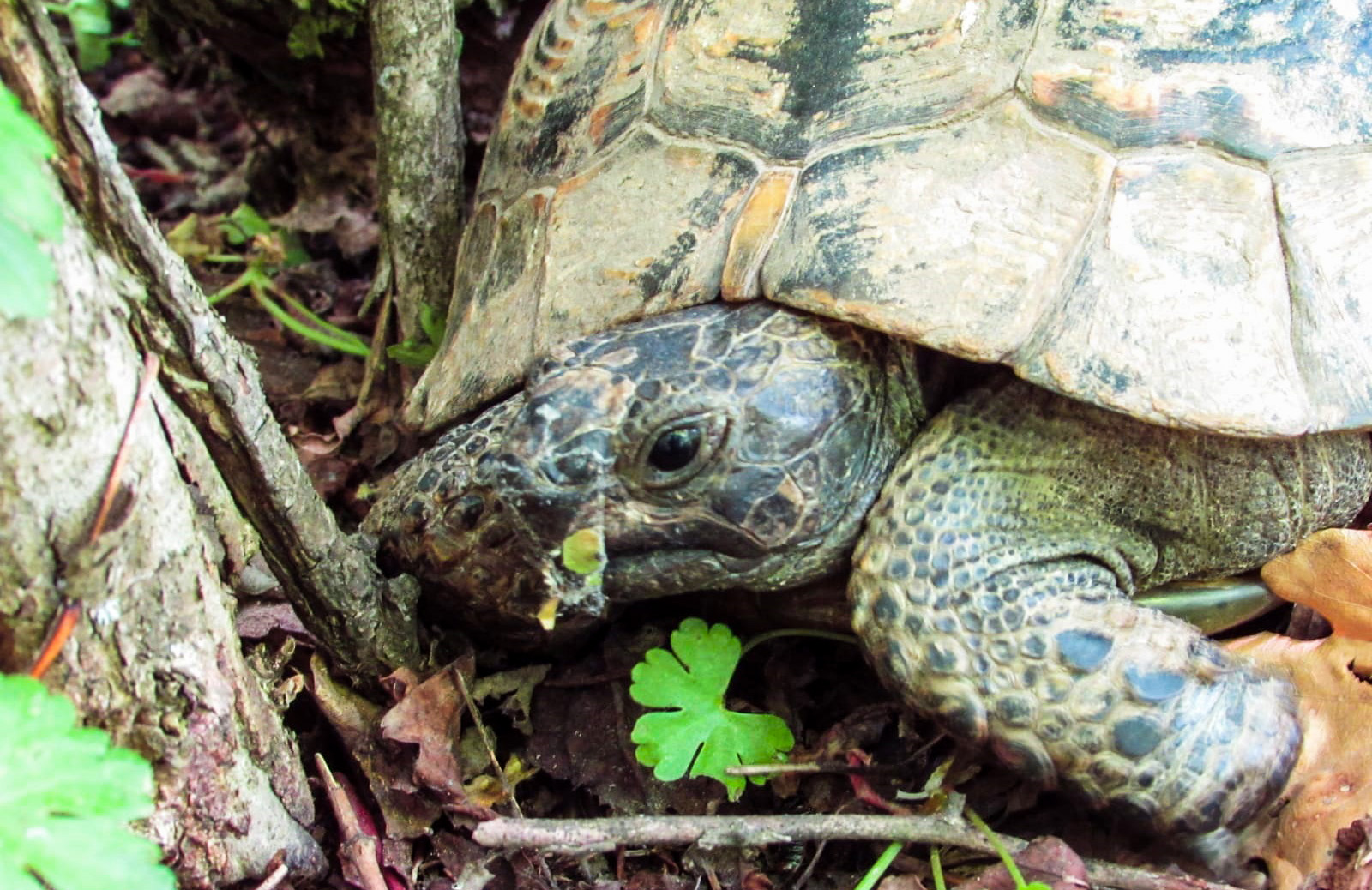 Greek turtle close up