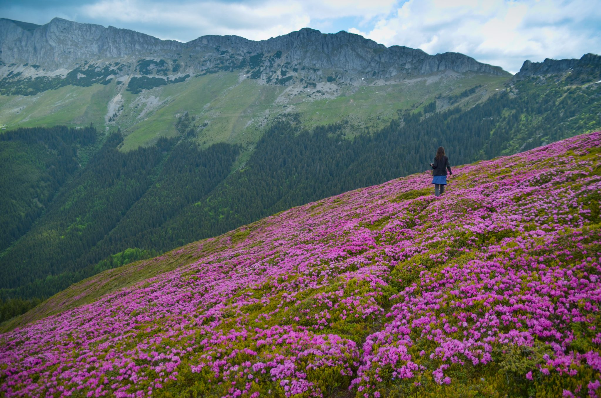 Rhododendron in Romania