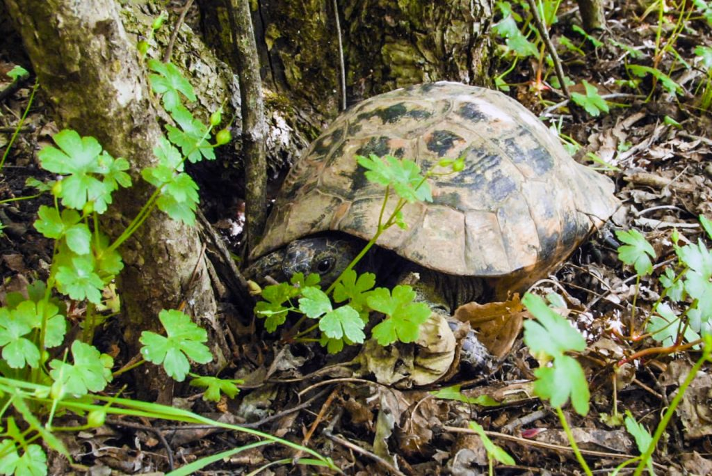 Turtles in Romania - The Greek turtle