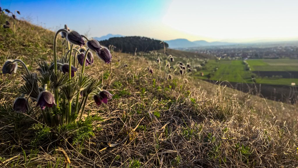 Lempeș hill flora - Pasque flower