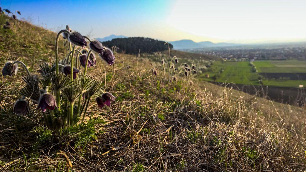 Lempeș hill flora - Flor de Pascua