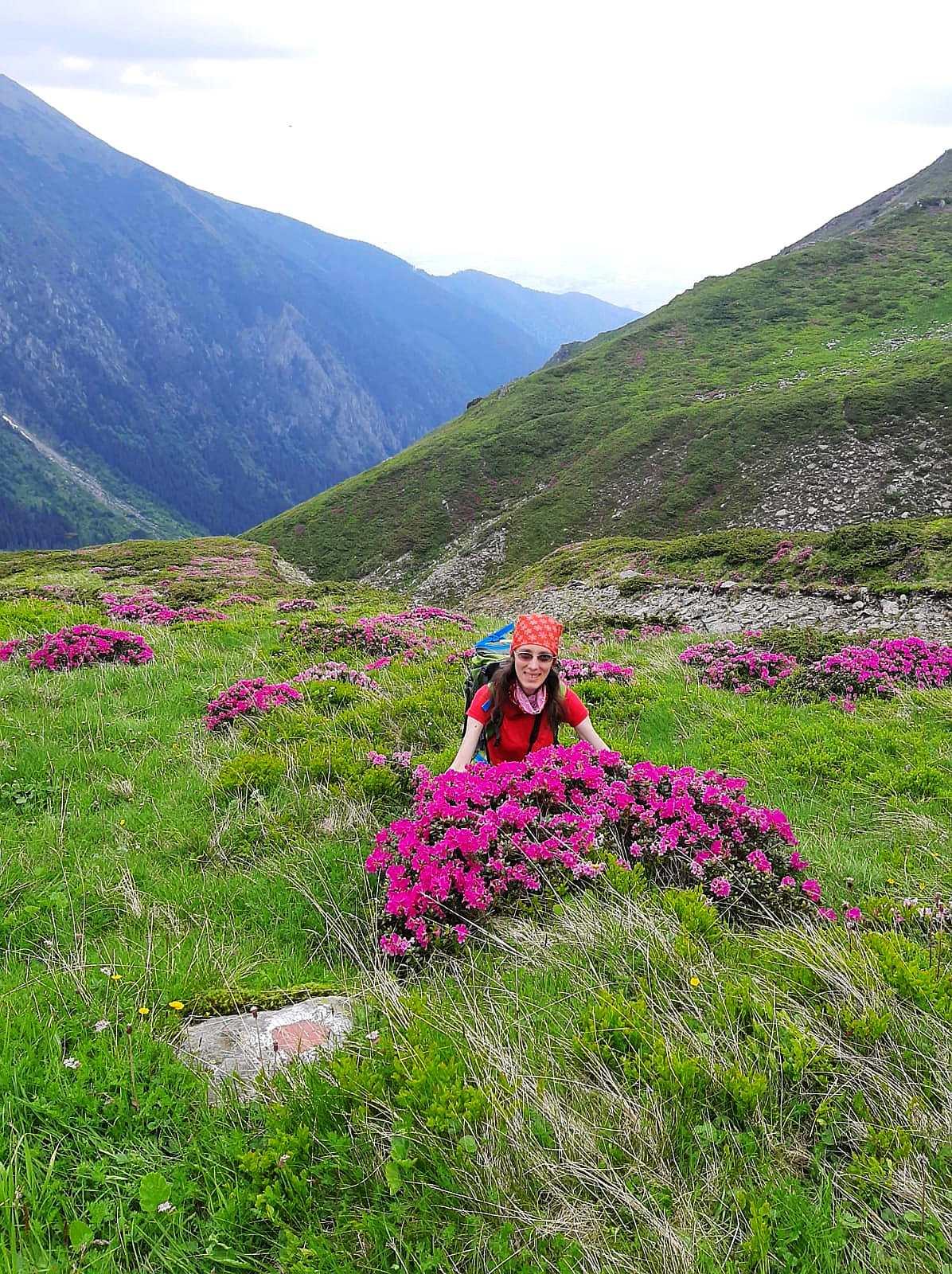 Rhododendron in Fagaras Mountains