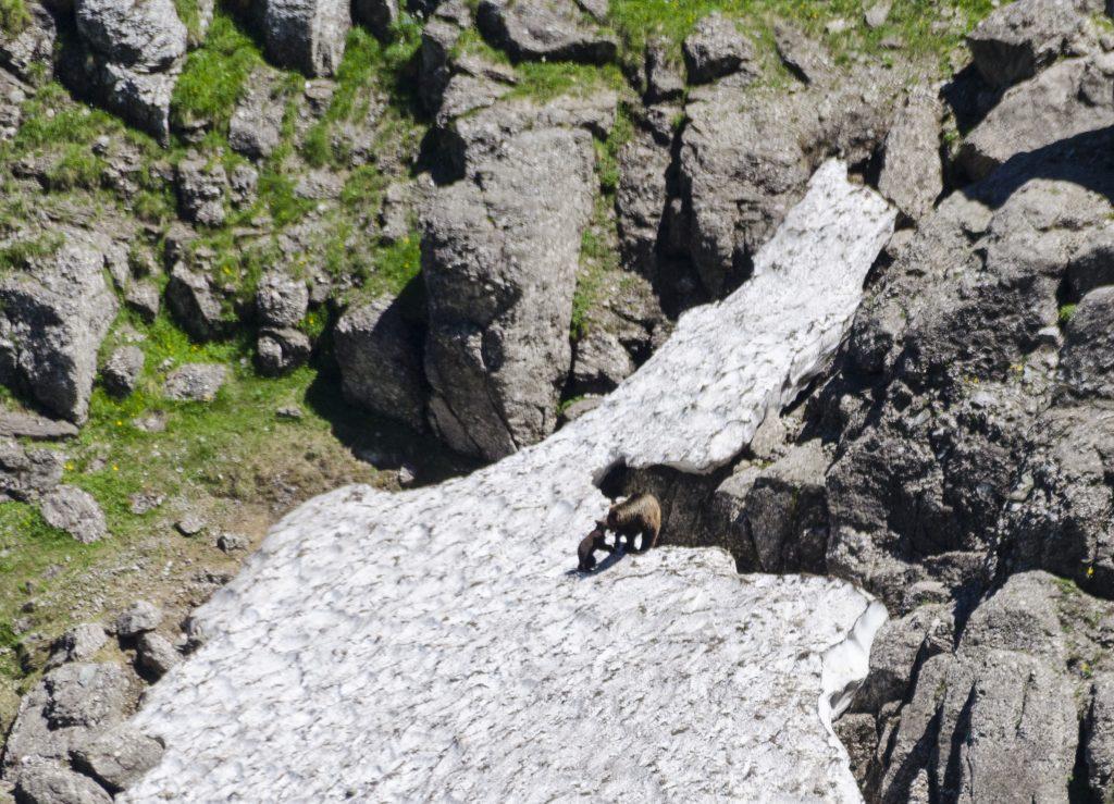 Bears in Mălăiești valley