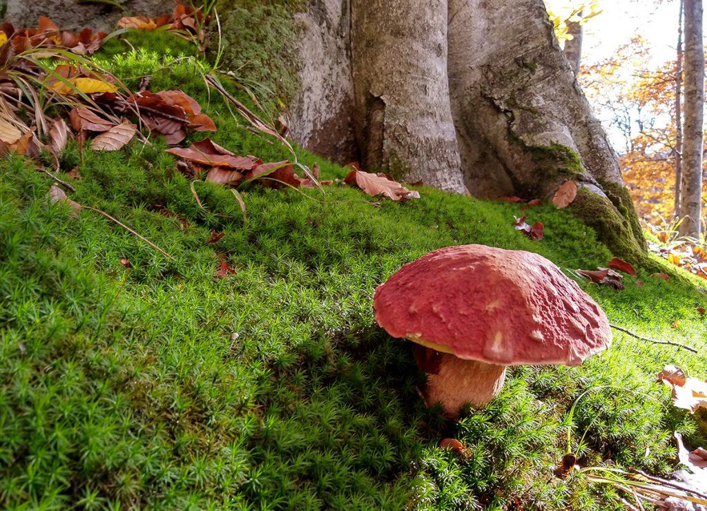 Mushroom foraging in Romania - Boletus sp