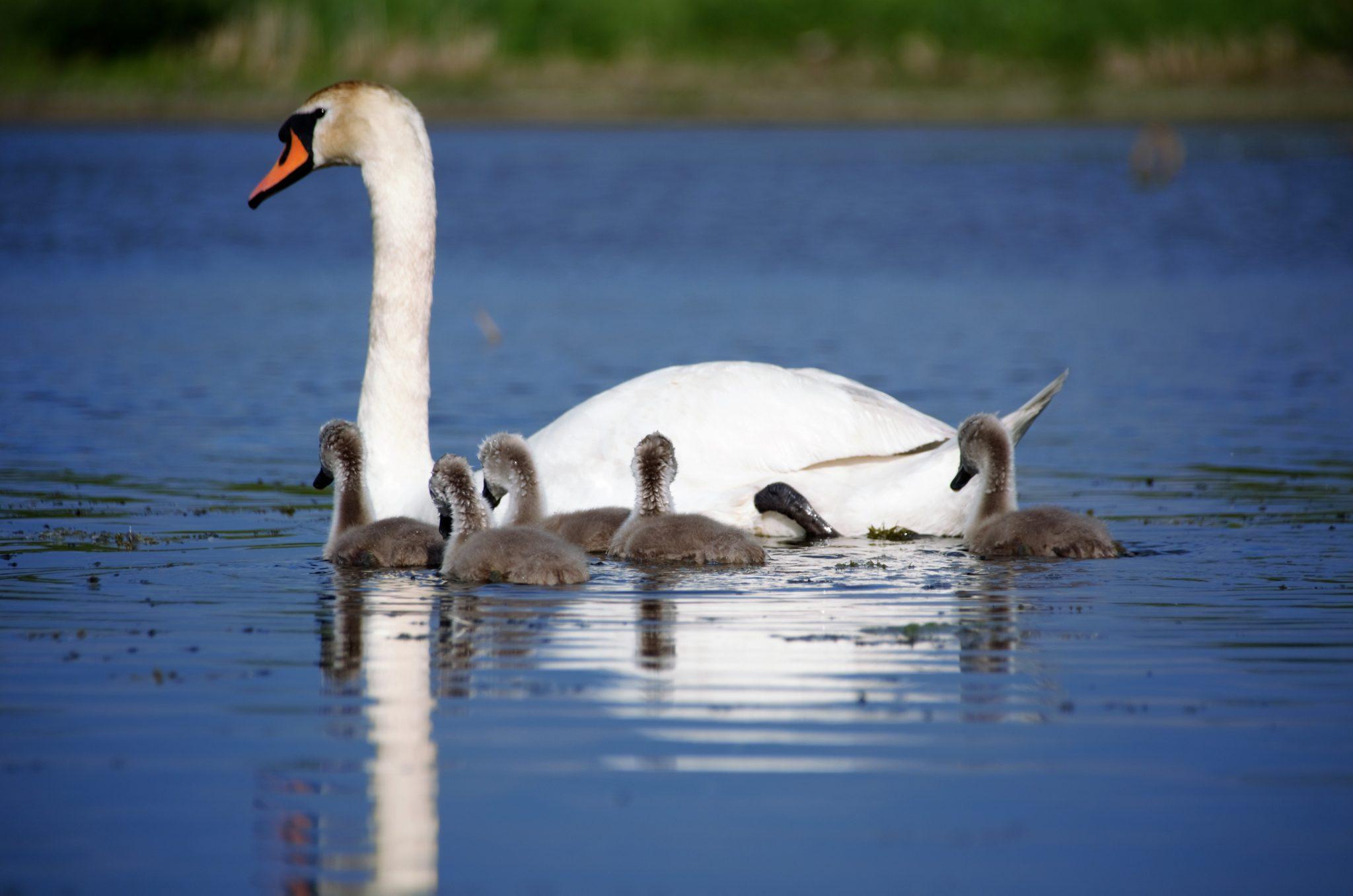 World Water Day - Mute swan