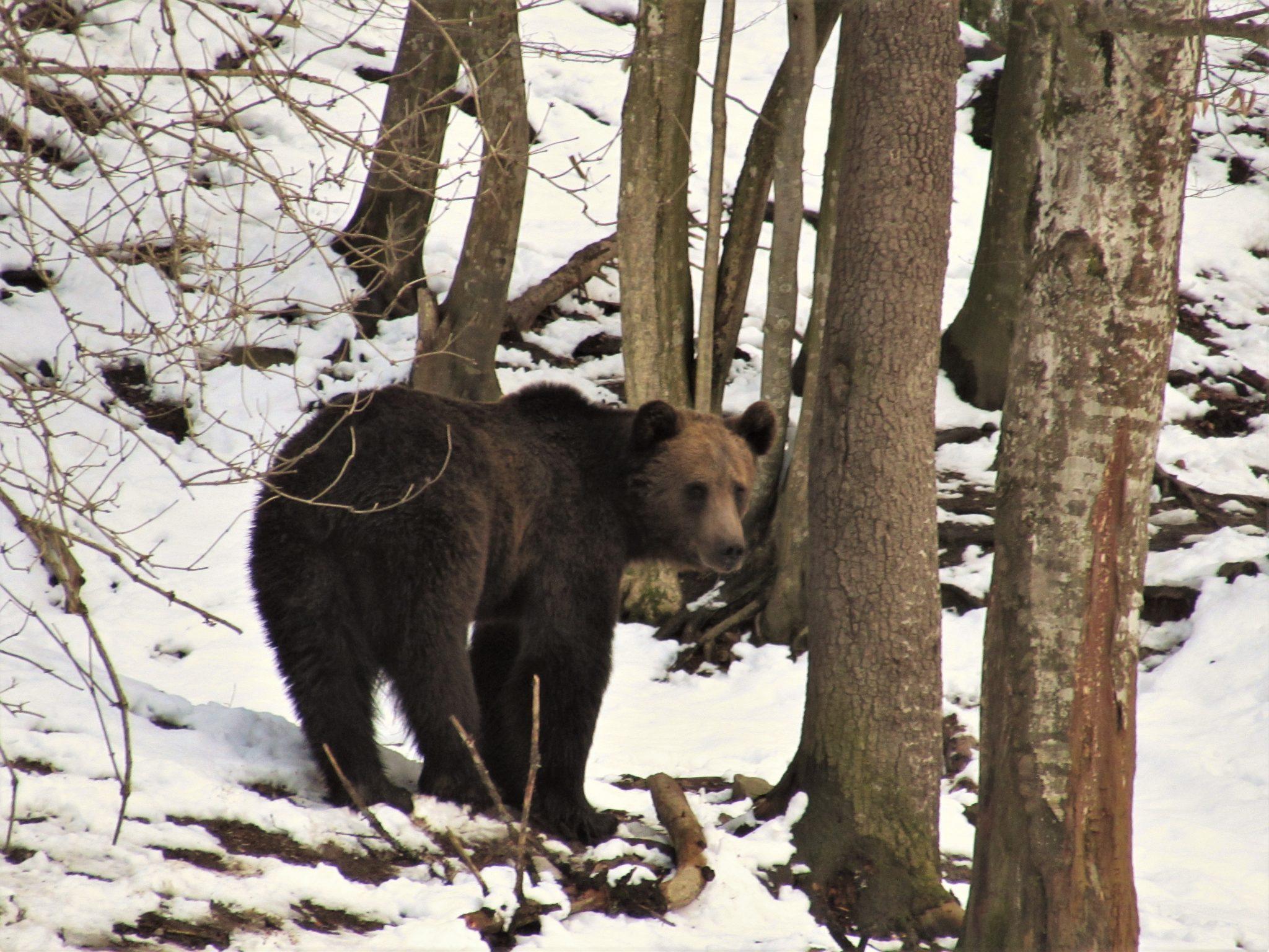 Bear Watching in Sinca Noua
