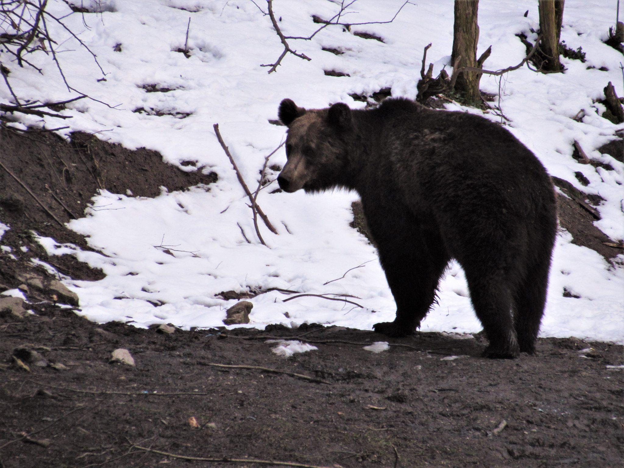 Brown bear watching in Sinca Noua