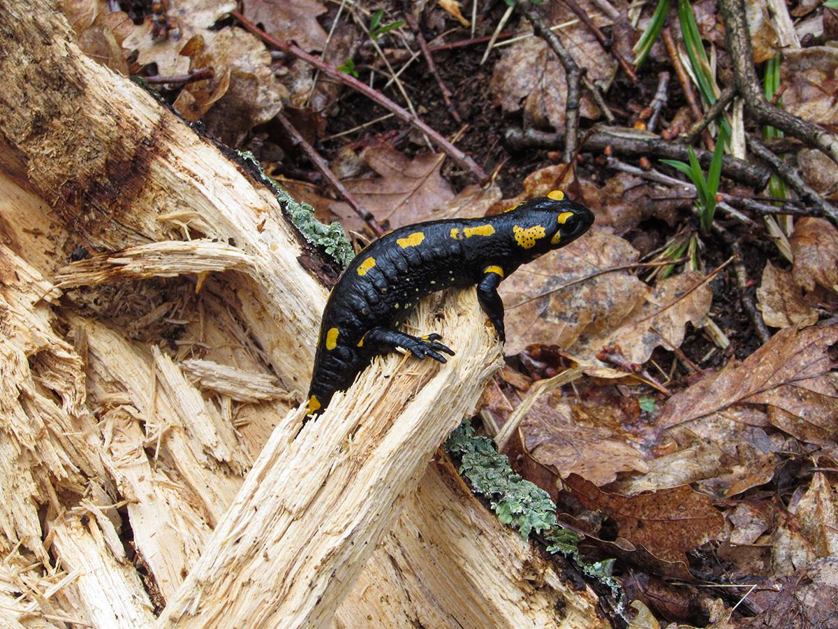 Fire salamander - Wildlife in Romania